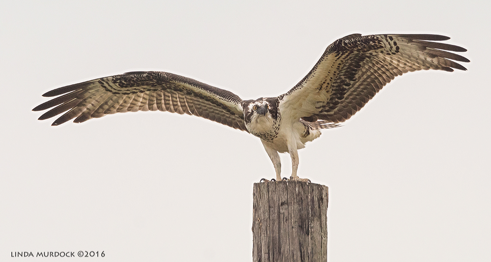 After this one landed, she held her wings outspread for the longest time.