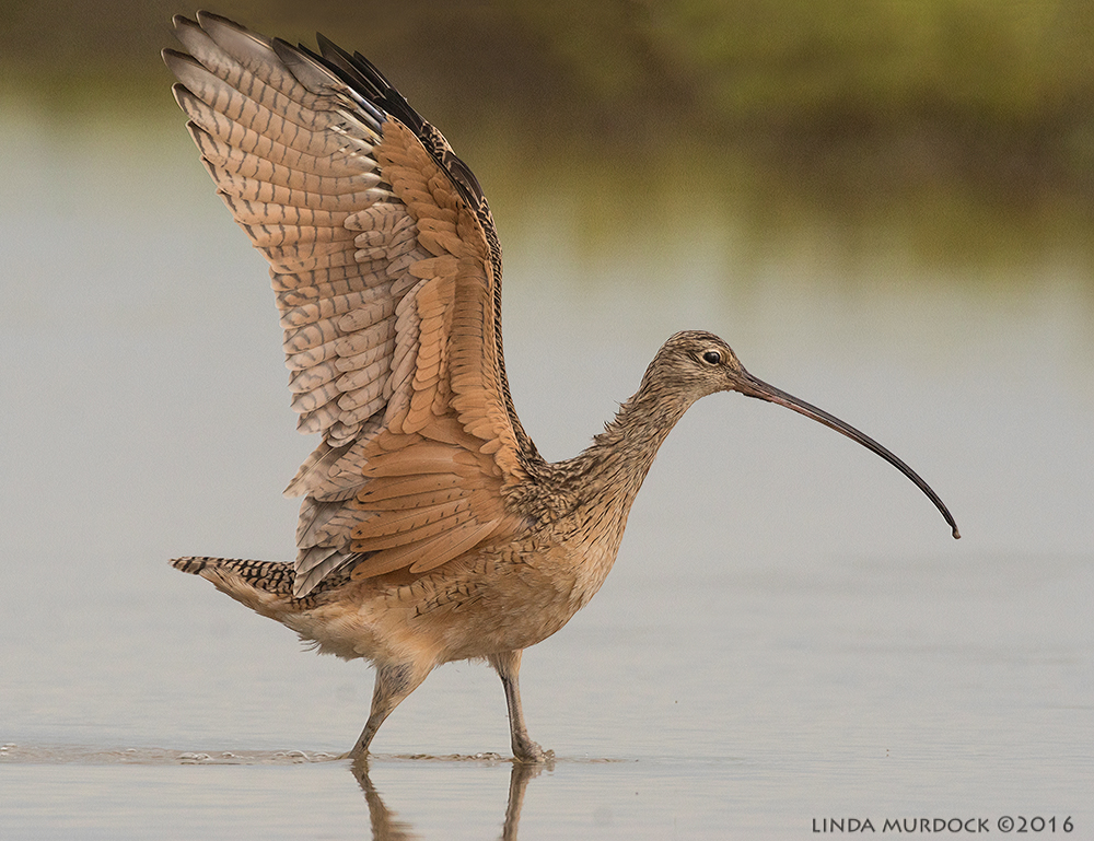 Long-billed Curlew showing off Sony A77II with Sony f/4 500 G + 1.4 TC; 1/1250 sec   f/8.0 ISO 1250 tripod