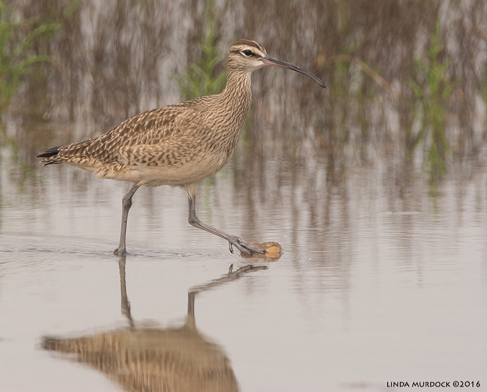Whimbrel high-stepping Sony A77II with Sony f/4 500 G + 1.4x TC; 1/1600 sec f/7.1 ISO 640; tripod
