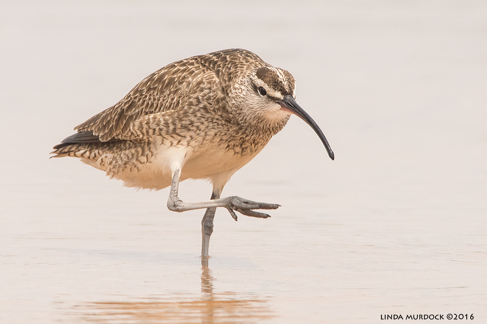 Look for the streaked head and down-curved bill to identify Whimbrels Sony A77II with Sony f/4 500 G + 1.4x TC; 1/2000 sec f/8.0 ISO 1000; tripod