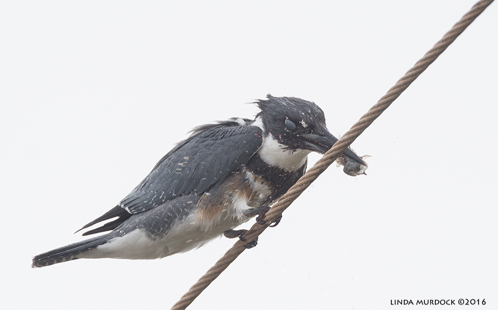 Belted Kingfisher smashing fish against wire Sony A77II with Sony f/4 500 G + 1.4 TC; 1/1250 sec f/7.1 ISO 1250; tripod