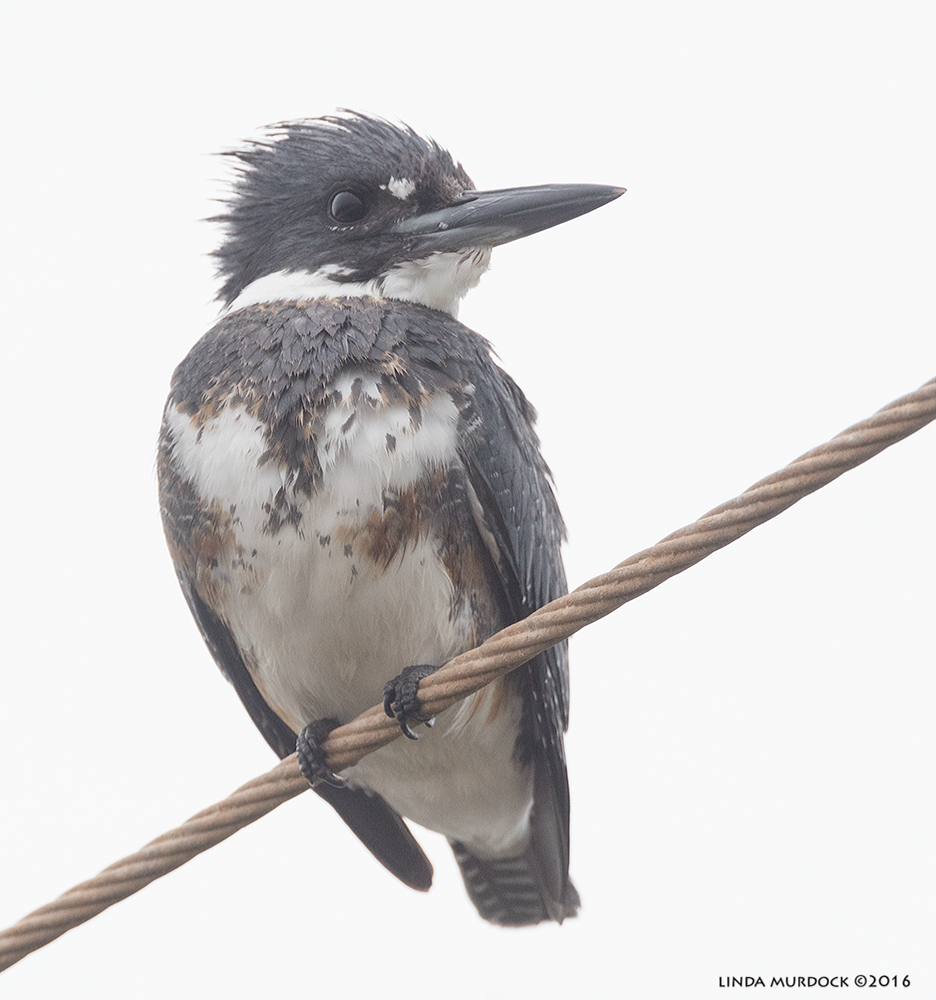 Belted Kingfisher Sony A77II with Sony f/4 500 G + 1.4 TC; 1/800 sec f/8.0 ISO 1250; tripod