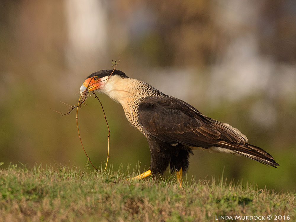 Crested Caracara with nesting materials Nikon D810 with Nikkor 600mm f/4 FL ED+ Nikon 1.4x TC ~ 1/2000 f/7.1 sec ISO 640