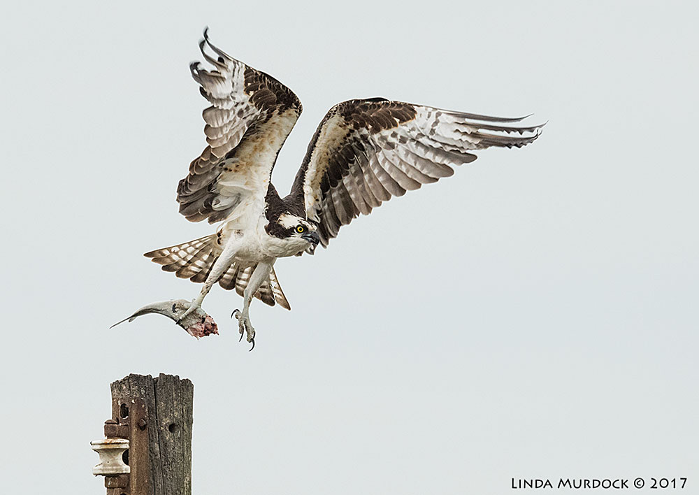 Osprey taking his dinner to a more private dining room Nikon D810 with NIKKOR 500mm f/4E FL ED VR + Nikon 1.4x TC ~ 1/2000   sec f/6.3 ISO 1600