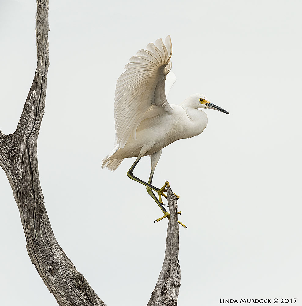 Young Snowy Egret playing top of the mountain   Nikon D810 with NIKKOR 500mm f/4E FL ED VR + Nikon 1.4x TC ~ 1/2500 sec f/6.3 ISO 1250