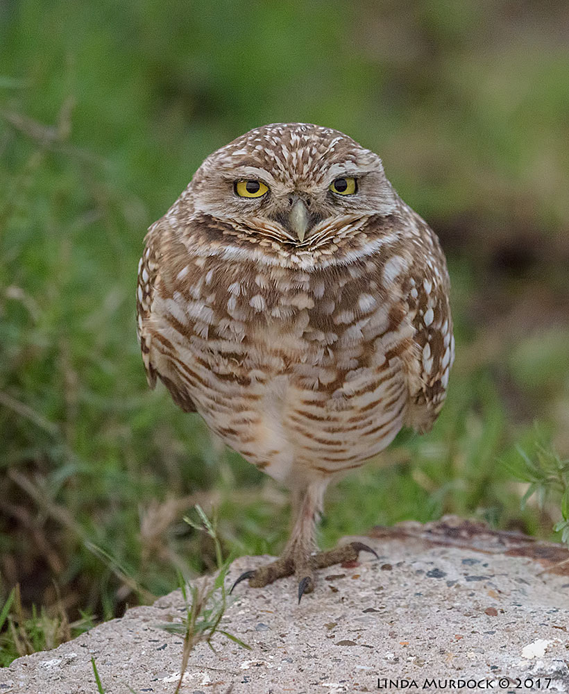 Burrowing Owl balanced on one foot.  Nikon D810 with NIKKOR 500mm f/4E FL ED VR + Nikon 1.4x TC ~ 1/500   sec f/6.3 ISO 3200