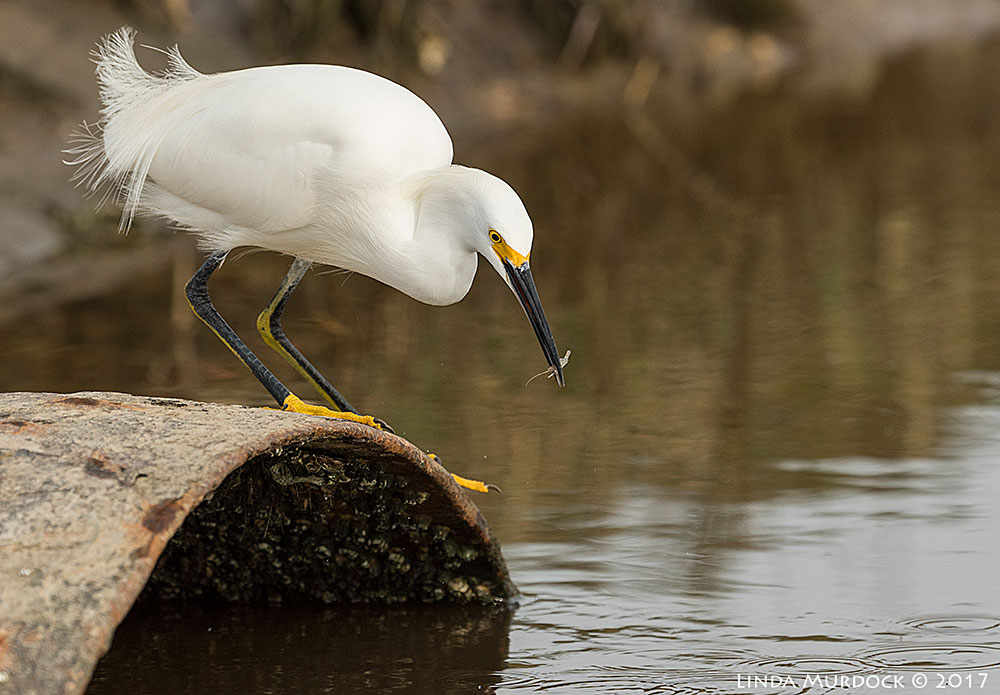 Snowy Egret in primo fishing spot    Nikon D810 with NIKKOR 500mm f/4E FL ED VR + Nikon 1.4x TC ~ 1/1600   sec f/7.1 ISO 640
