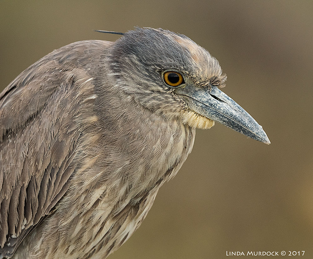 Young Yellow-crowned Night Heron portrait Nikon D810 with NIKKOR 500mm f/4E VR + Nikon 1.4x TC ~ 1/1250   sec f/8.0 ISO 1250