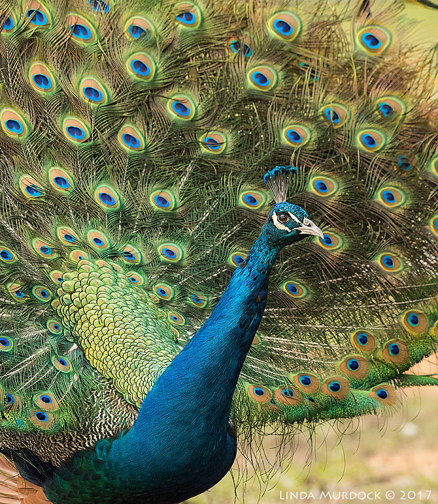 Peacock checking me out   Nikon D810 with NIKKOR 500mm f/4E VR + Nikon 1.4x TC ~ 1/1600   sec f/6.3 ISO 2000