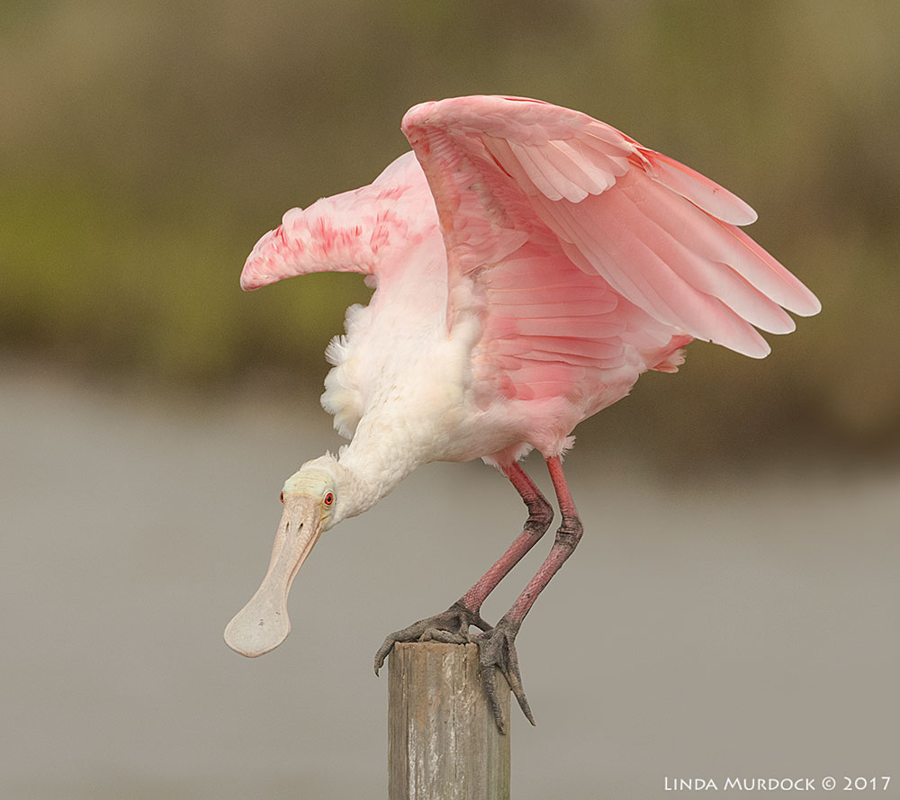 Roseate Spoonbill balanced on p  ier Nikon D810 with NIKKOR 500mm f/4E VR + Nikon 1.4x TC ~ 1/2000   sec f/8.0 ISO 1000