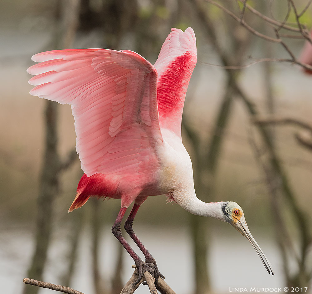 Roseate Spoonbill showing off Nikon D810 with NIKKOR 500mm f/4E VR + Nikon 1.4x TC ~ 1/1600  sec f/7.1 ISO 640; tripod