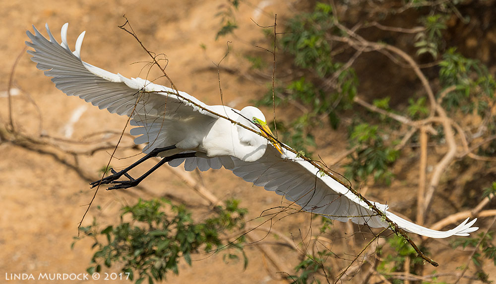 Great Egret with great stick taken from top of new platform Nikon D810 with NIKKOR 500mm f/4E VR + Nikon 1.4x TC ~ 1/3200   sec f/6.3 ISO 400; handheld