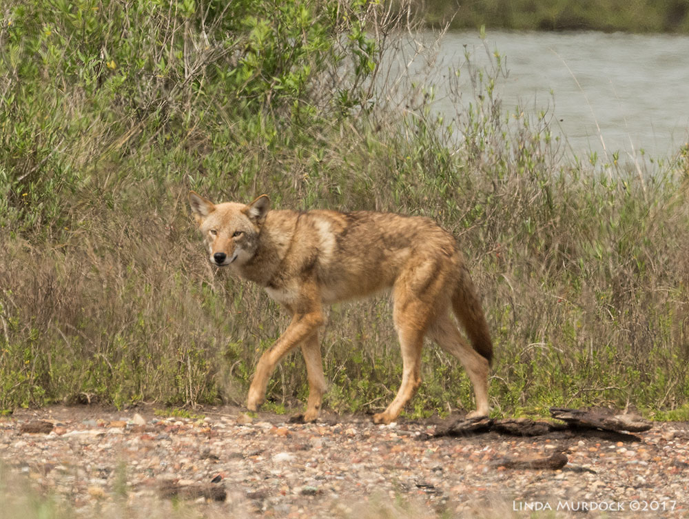 Wild coyote! Nikon D810 with NIKKOR 500mm f/4E VR + Nikon 1.4x TC ~ 1/800   sec f/14.0 ISO 800; from vehicle window