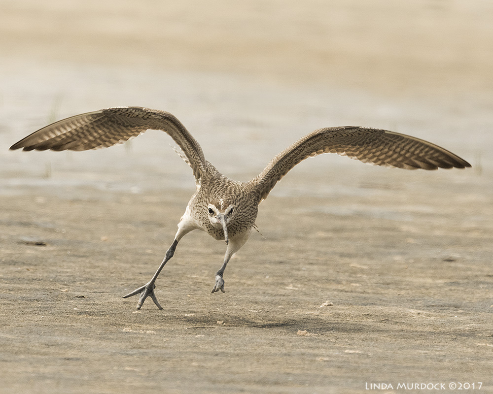 Whimbrel chasing Willets Nikon D810 with NIKKOR 500mm f/4E VR + Nikon 1.4x TC ~ 1/2000   sec f/8.0 ISO 1000; braced on truck bed