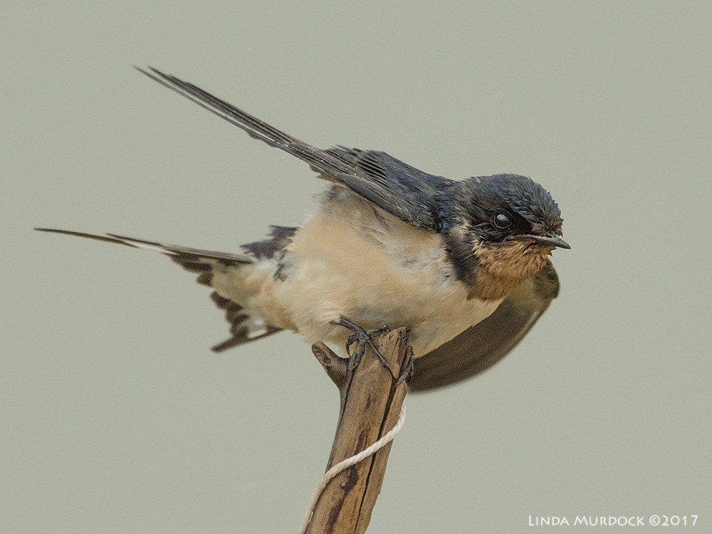 Barn Swallow holding on for dear life Nikon D810 with NIKKOR 500mm f/4E VR + Nikon 1.4x TC ~ 1/1600   sec f/5.6 ISO 1600; hand held shooting over Bill's shoulder from the truck