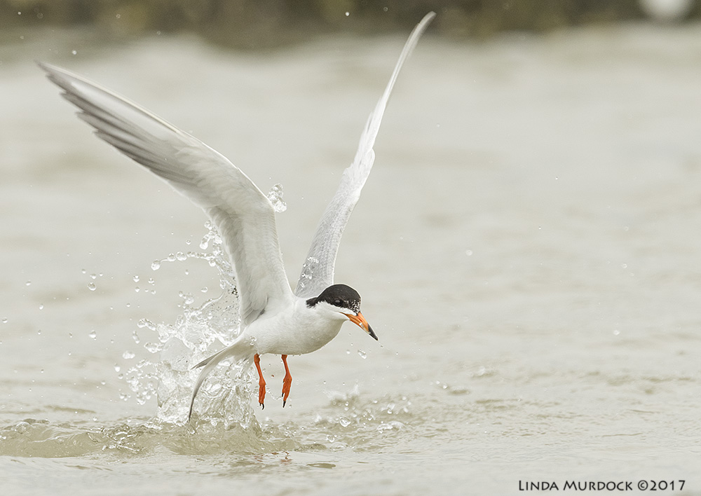 Forster's Tern coming out of the water with NO fish Nikon D810 with NIKKOR 500mm f/4E VR + Nikon 1.4x TC ~ 1/2000   sec f/7.1 ISO 640; tripod