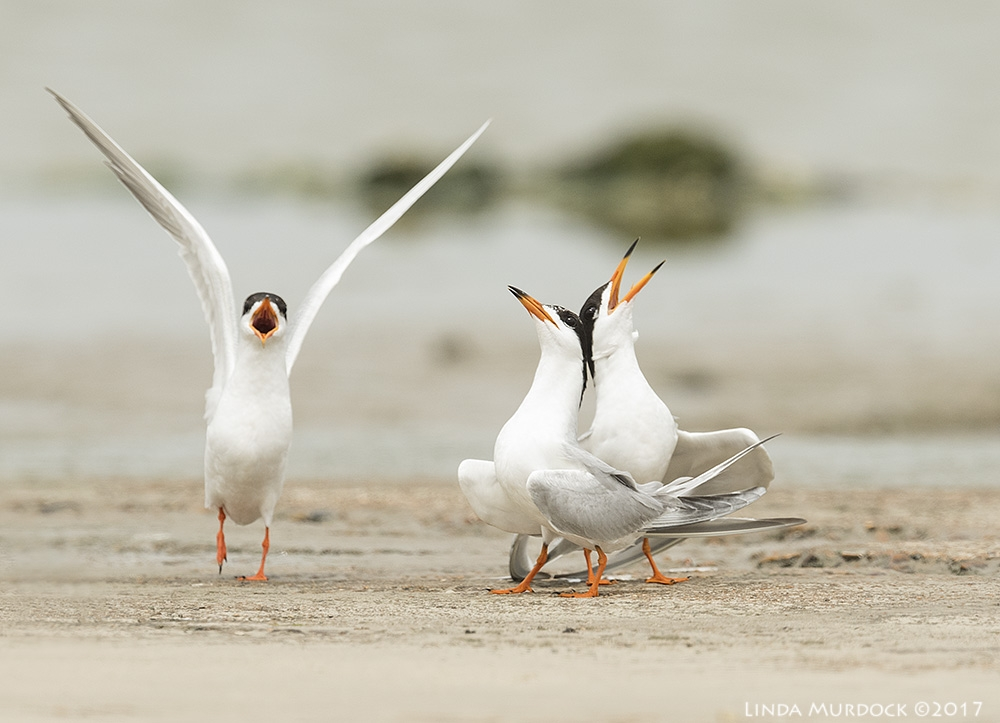 Forster's Terns competing for attention    Nikon D810 with NIKKOR 500mm f/4E VR + Nikon 1.4x TC ~ 1/2000   sec f/7.1 ISO 500; tripod