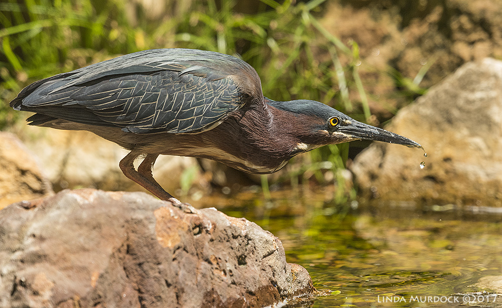 Green Heron pretending to be an exhausted warbler   Nikon D810 with NIKKOR 500mm f/4E VR + Nikon 1.4x TC ~ 1/2000   sec f/7.1 ISO 1600; tripod