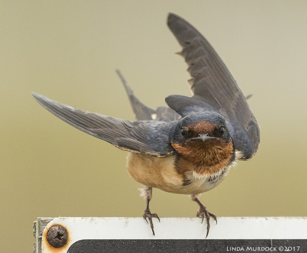Young Barn Swallow   - note his wide baby mouth Nikon D810 with NIKKOR 500mm f/4E VR + Nikon 1.4x TC ~ 1/2000   sec f/8.0 ISO 2500; tripod