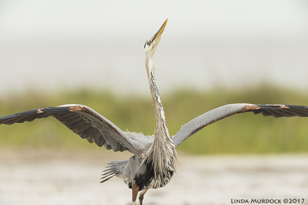 Great Blue Heron showing off Nikon D810 with NIKKOR 500mm f/4E VR + Nikon 1.4x TC ~ 1/2000   sec f/6.3 ISO 1000; tripod