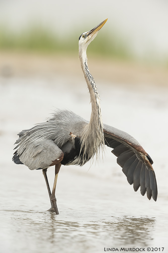 Great Blue Heron male in full display Nikon D810 with NIKKOR 500mm f/4E VR + Nikon 1.4x TC ~ 1/2000   sec f/6.3 ISO 1000; tripod