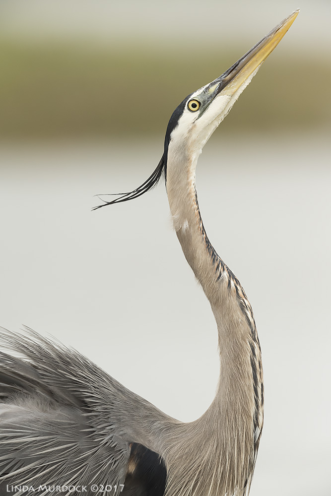 Great Blue Heron portrait Nikon D810 with NIKKOR 500mm f/4E VR + Nikon 1.4x TC ~ 1/2000   sec f/6.3 ISO 1000; tripod