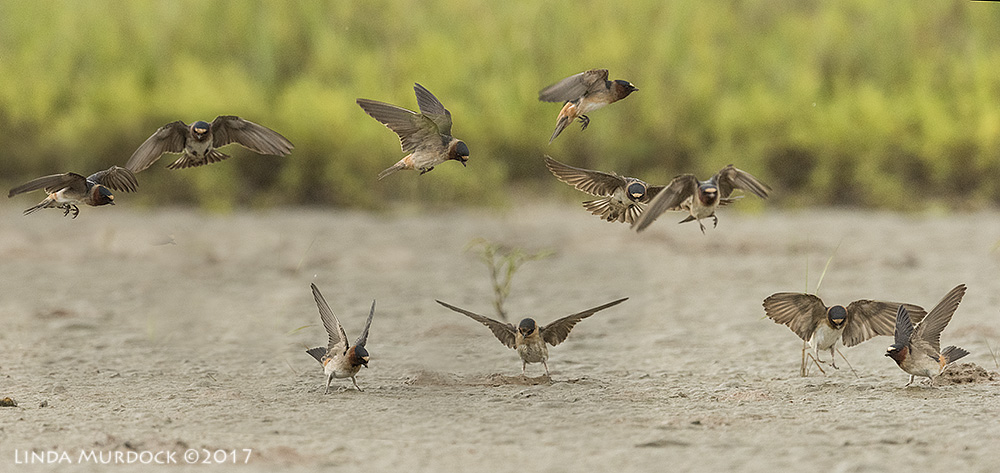 Cliff Swallows getting mud for nest building Nikon D810 with NIKKOR 500mm f/4E VR + Nikon 1.4x TC ~ 1/2000   sec f/7.1 ISO 2500; tripod