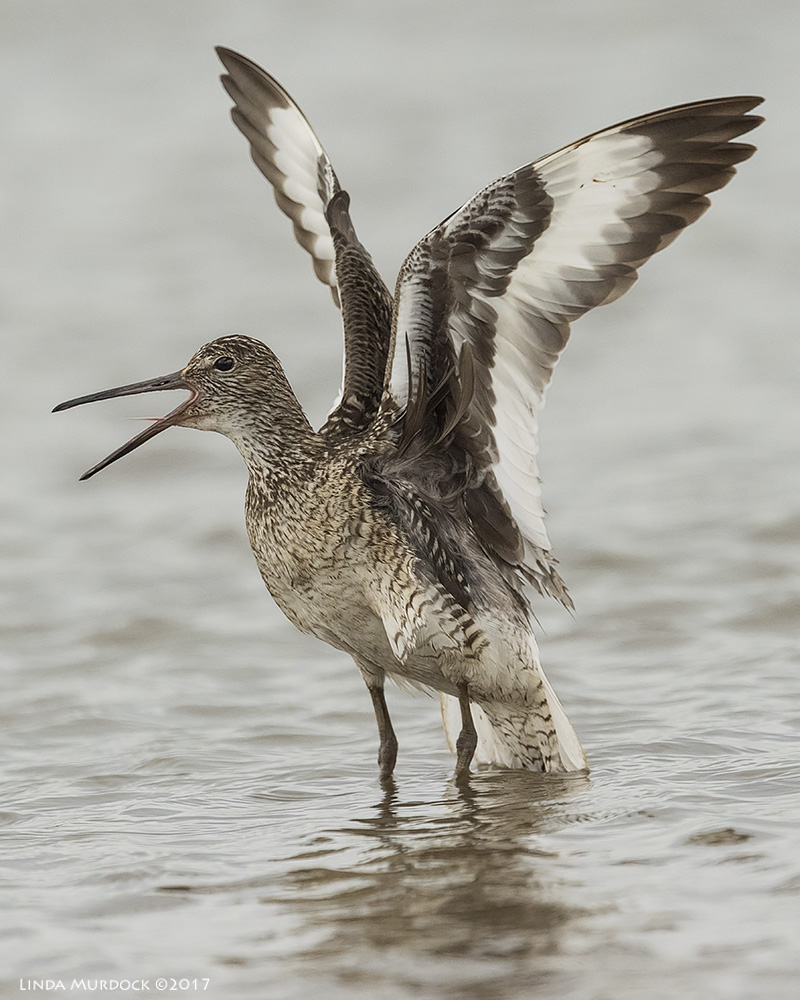 Willet showing you EVERYTHING he has Nikon D810 with NIKKOR 500mm f/4E VR + Nikon 1.4x TC ~ 1/2000   sec f/7.1 ISO 2000; tripod