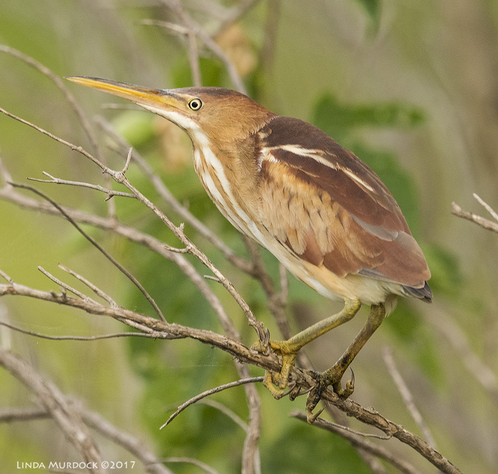 Least Bittern posing for us   Nikon D810 with NIKKOR 500mm f/4E VR + Nikon 1.4x TC ~ 1/1000   sec f/6.3 ISO 2000; hand-held