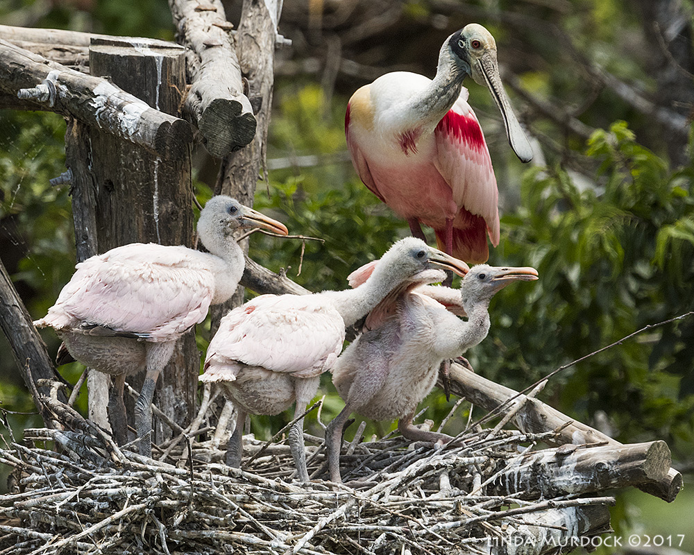 Roseate Spoonbill and chicks Nikon D810 with NIKKOR 500mm f/4E VR~ 1/2000   sec f/7.1 ISO 1000; tripod