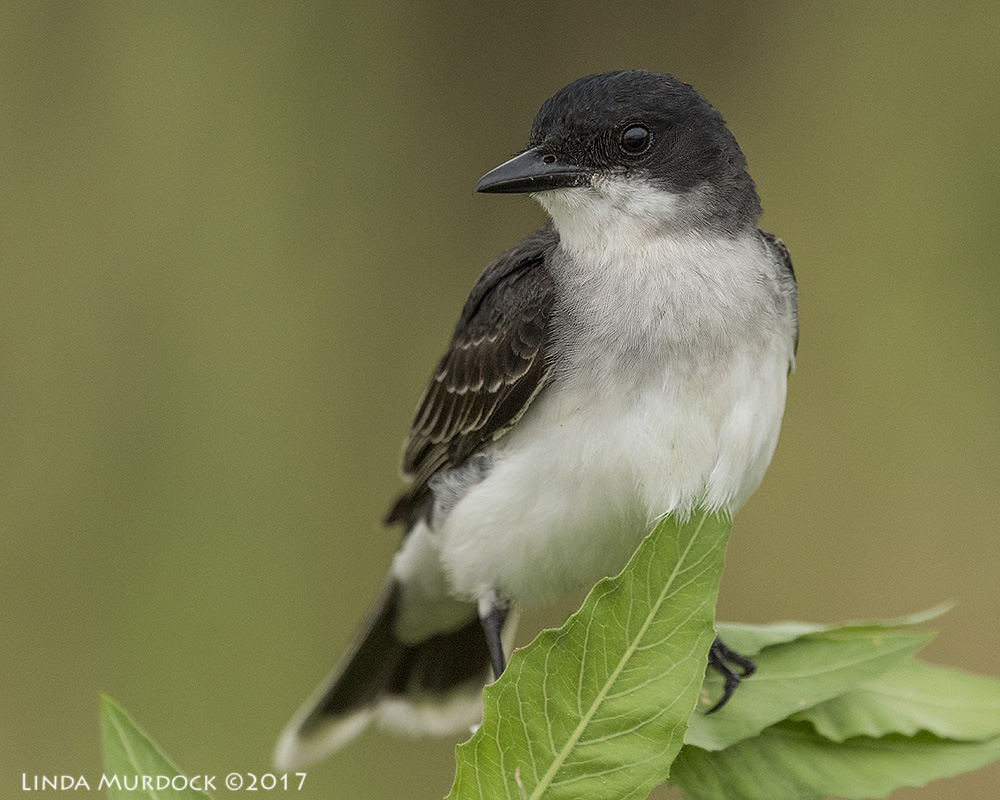 Lovely Eastern Kingbird Nikon D810 with NIKKOR 500mm f/4E VR~ 1/500   sec f/6.3 ISO 1600; braced on truck window