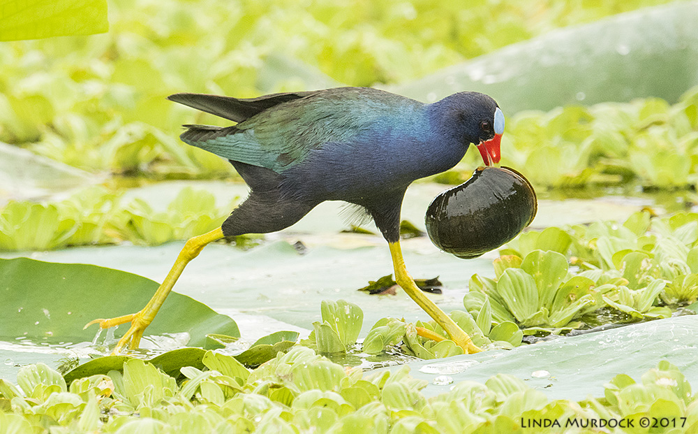 Purple Gallinule with prize Nikon D810 with NIKKOR 500mm f/4E VR~ 1/2000   sec f/7.1 ISO 2000; tripod