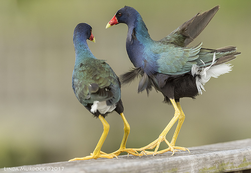 A mated pair of Purple Gallinules Nikon D810 with NIKKOR 500mm f/4E VR~ 1/1600   sec f/8.0 ISO 2000; tripod