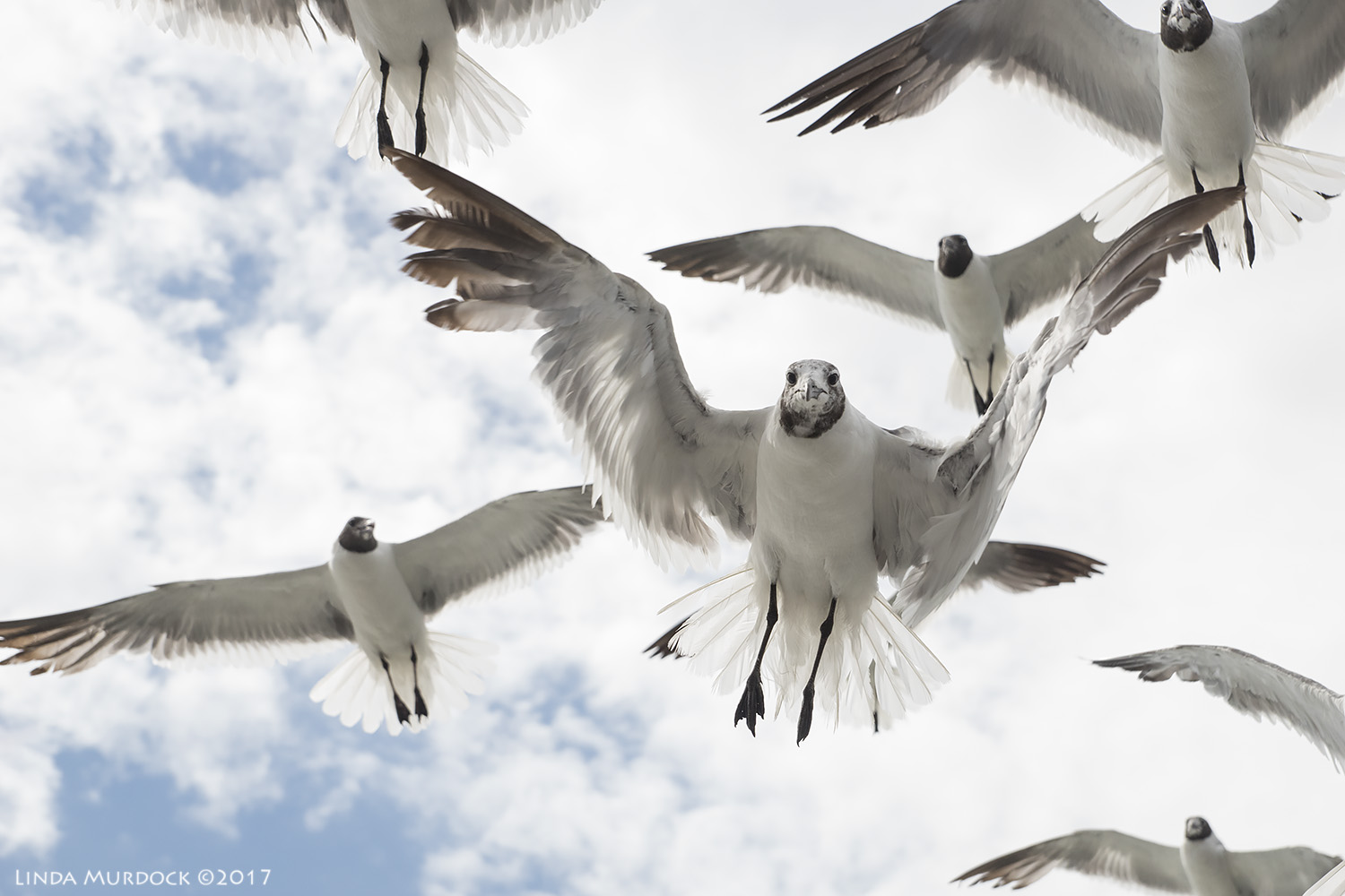 Laughing Gulls are always hungry Sony A77II with DT 16-50mm 1/2000 sec f/6.3 ISO 800; hand-held