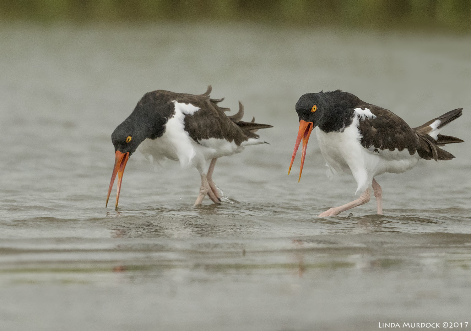 Pair of Oystercatchers walking side by side, calling Nikon D810 with NIKKOR 500mm f/4E VR + Nikon 1.4x TC ~ 1/2000  sec f/5.6 ISO 2000; tripod