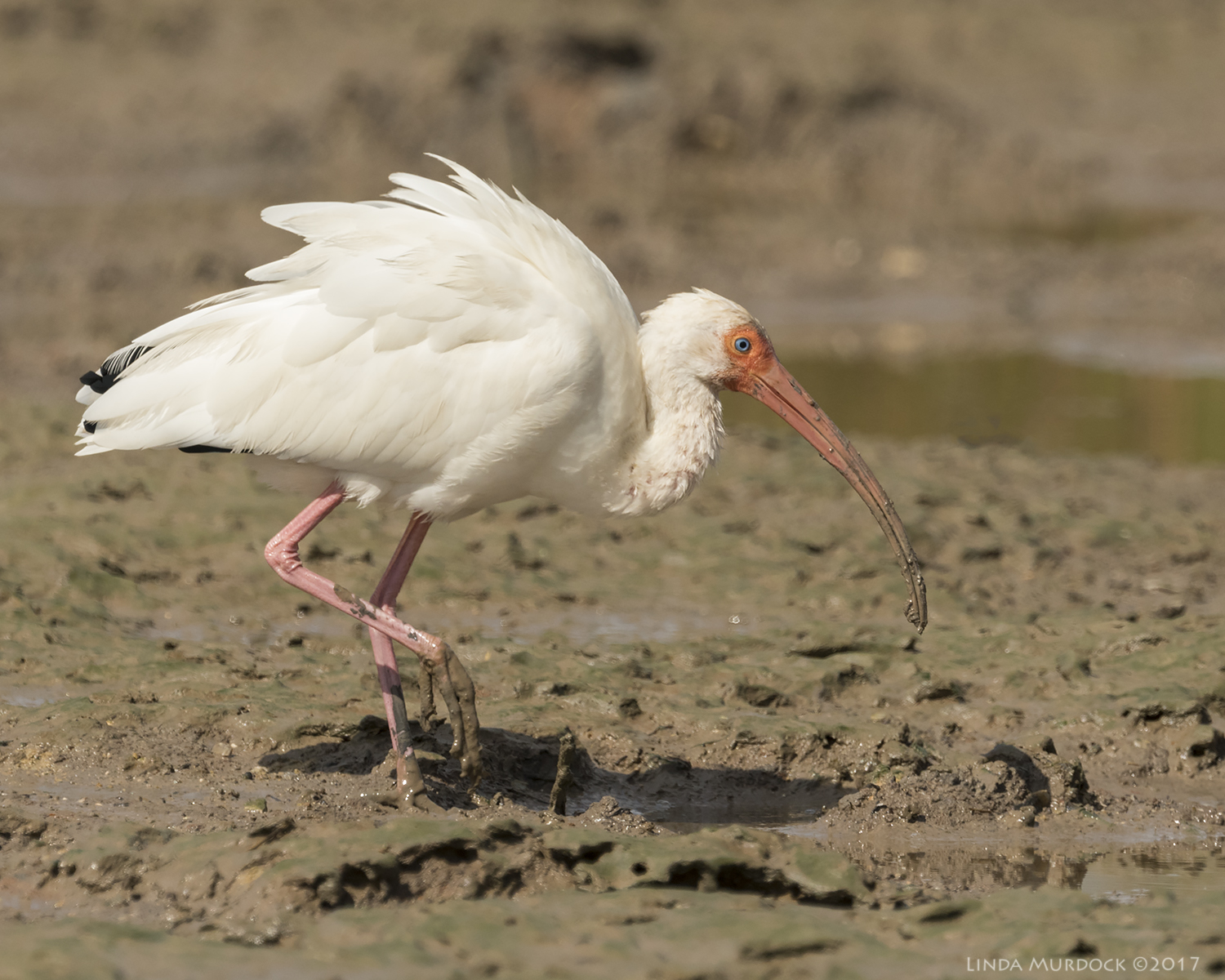 White Ibis having a big time in the mudflats    Nikon D810 with NIKKOR 500mm f/4E VR + Nikon 1.4x TC ~ 1/2000   sec f/8.0 ISO 400; tripod