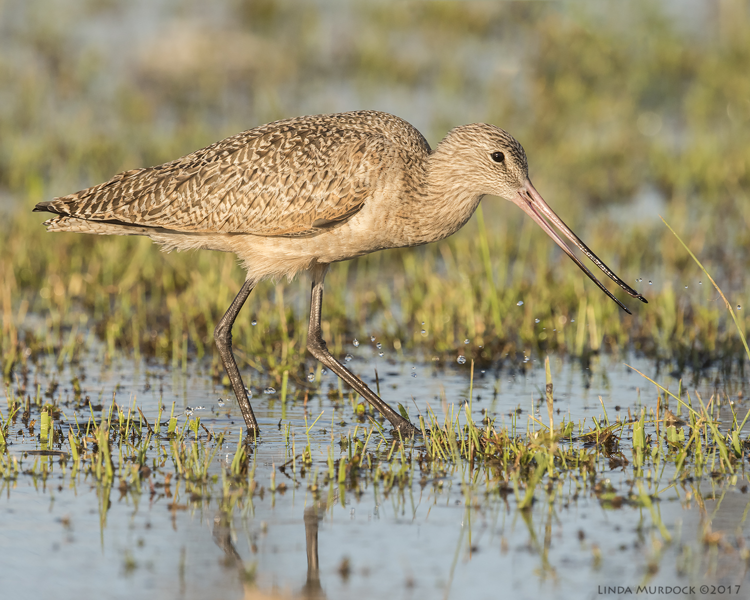 Marbled Godwit in late afternoon sun   Nikon D810 with NIKKOR 500mm f/4E VR + Nikon 1.4x TC ~ 1/2000   sec f/9.0 ISO 1000; tripod