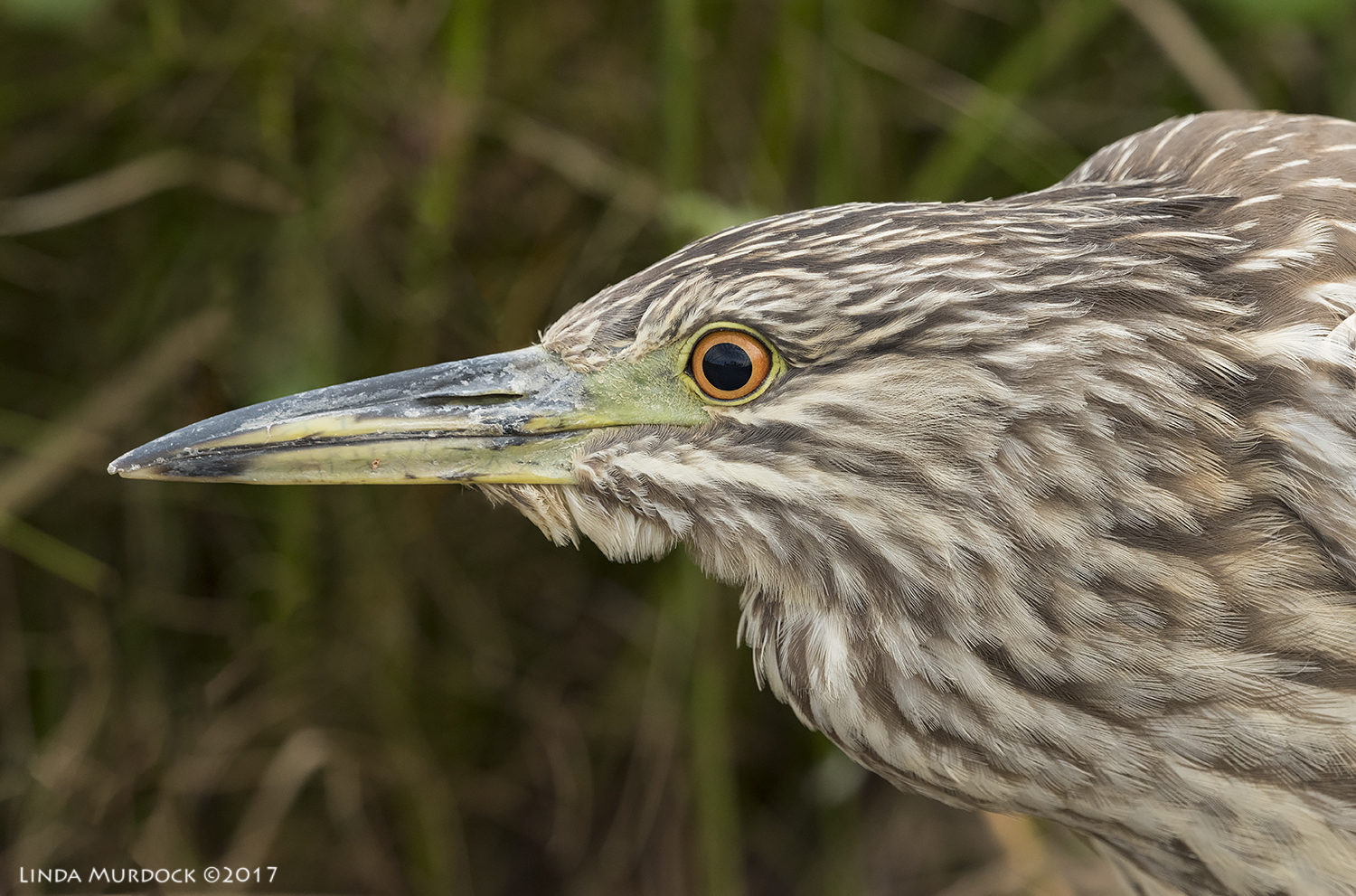 Juvenile Black Crown Night Heron ~ click all images to embiggen   Nikon D810 with NIKKOR 500mm f/4E VR + Nikon 1.4x TC ~ 1/1250   sec f/7.1 ISO 1250; braced in vehicle window