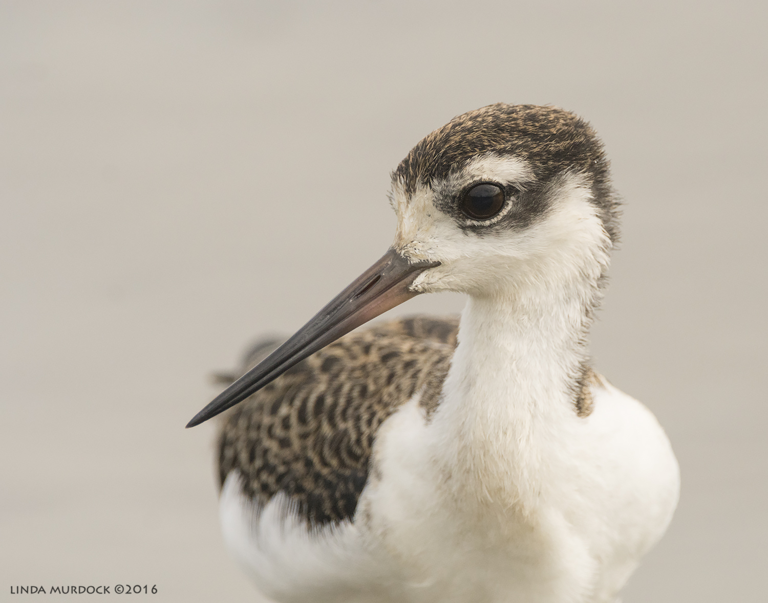 Young Black-Necked Stilt    Sony A77II with Sony f/4 500 G + 1.4x TC; 1/1600 sec f/7.1 ISO 1250; tripod
