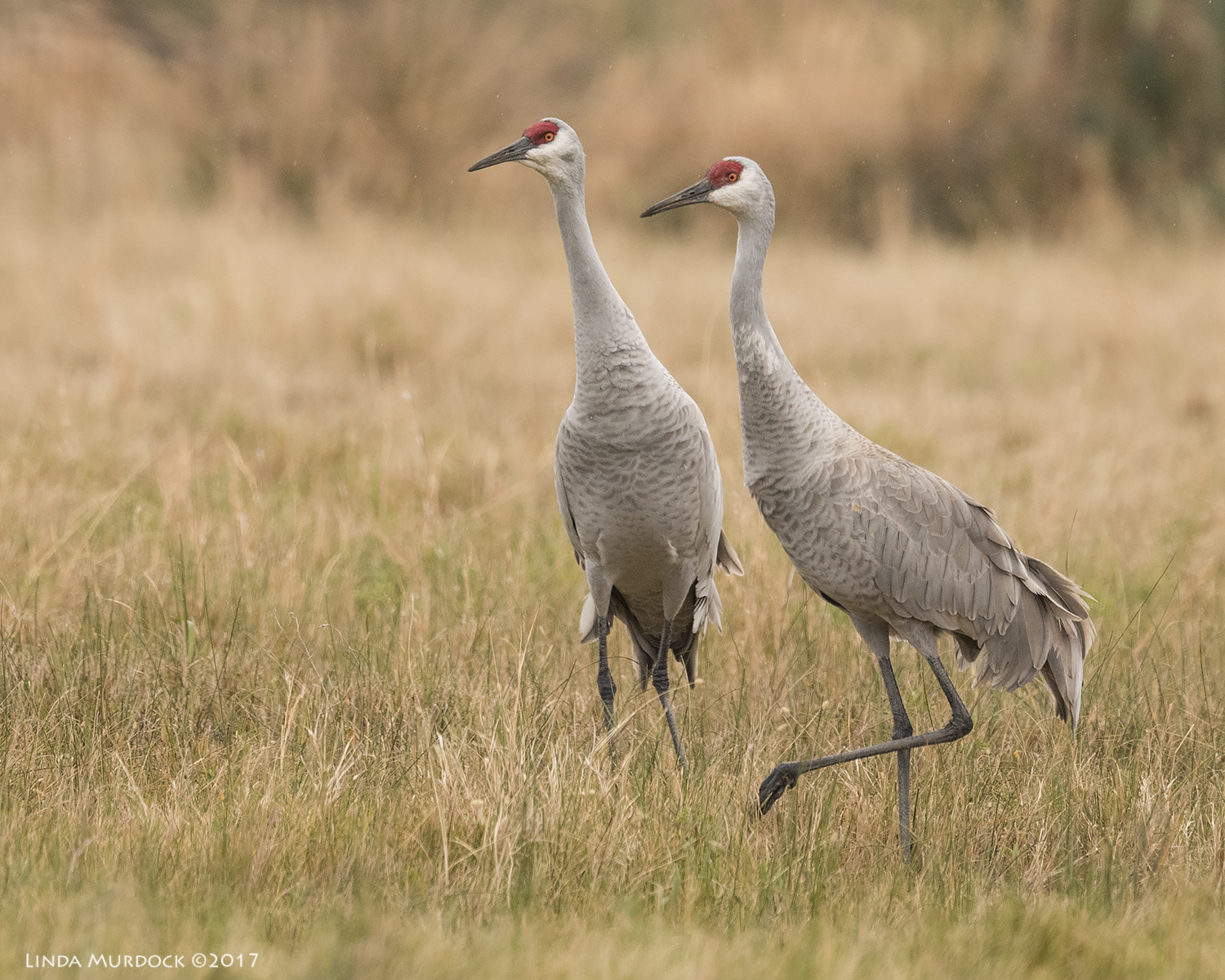 A mated pair of Sandhill Cranes Nikon D810 with NIKKOR 500mm f/4E VR + Nikon 1.4x TC ~ 1/1250   sec f/6.3 ISO 1000; tripod