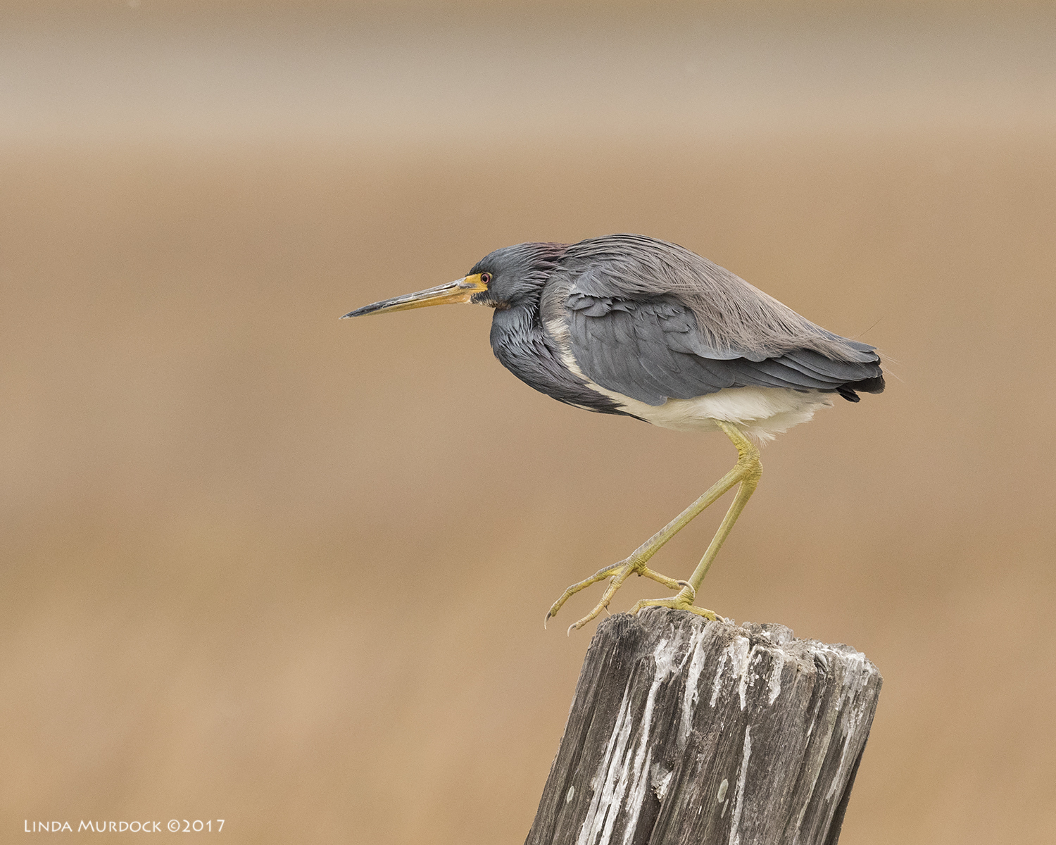 Tricolored Heron thinks about flying off    Nikon D810 with NIKKOR 500mm f/4E VR + Nikon 1.4x TC ~ 1/1250   sec f/6.3 ISO 1000; tripod
