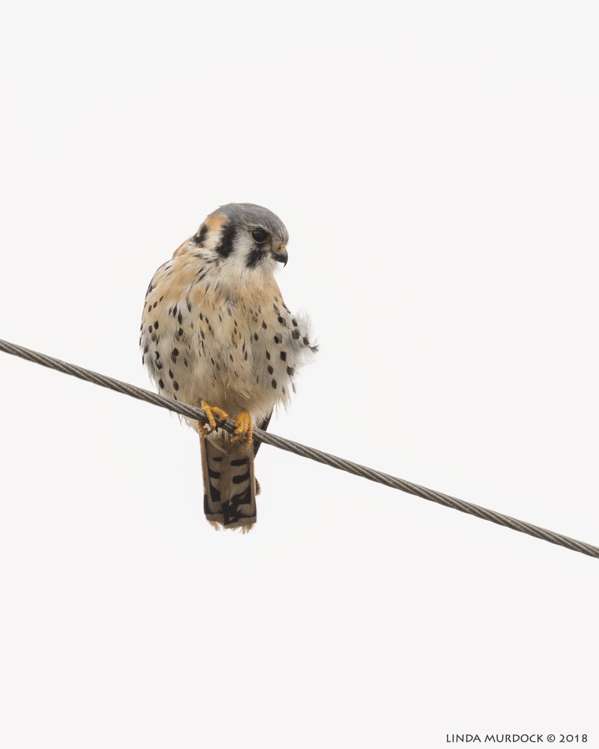 Male Kestrel giving us the stink-eye   Nikon D810 with NIKKOR 500mm f/4E VR + Nikon 1.4x TC ~ 1/2000   sec f/7.1 ISO 1250; braced on truck