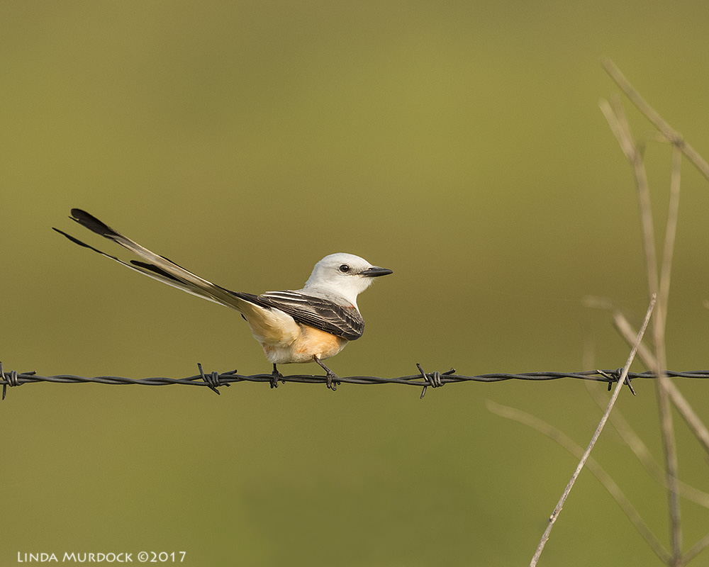 Scissor-tailed Flycatcher from last Spring  Nikon D810 with NIKKOR 500mm f/4E VR + Nikon 1.4x TC ~ 1/2000   sec f/6.3 ISO 800