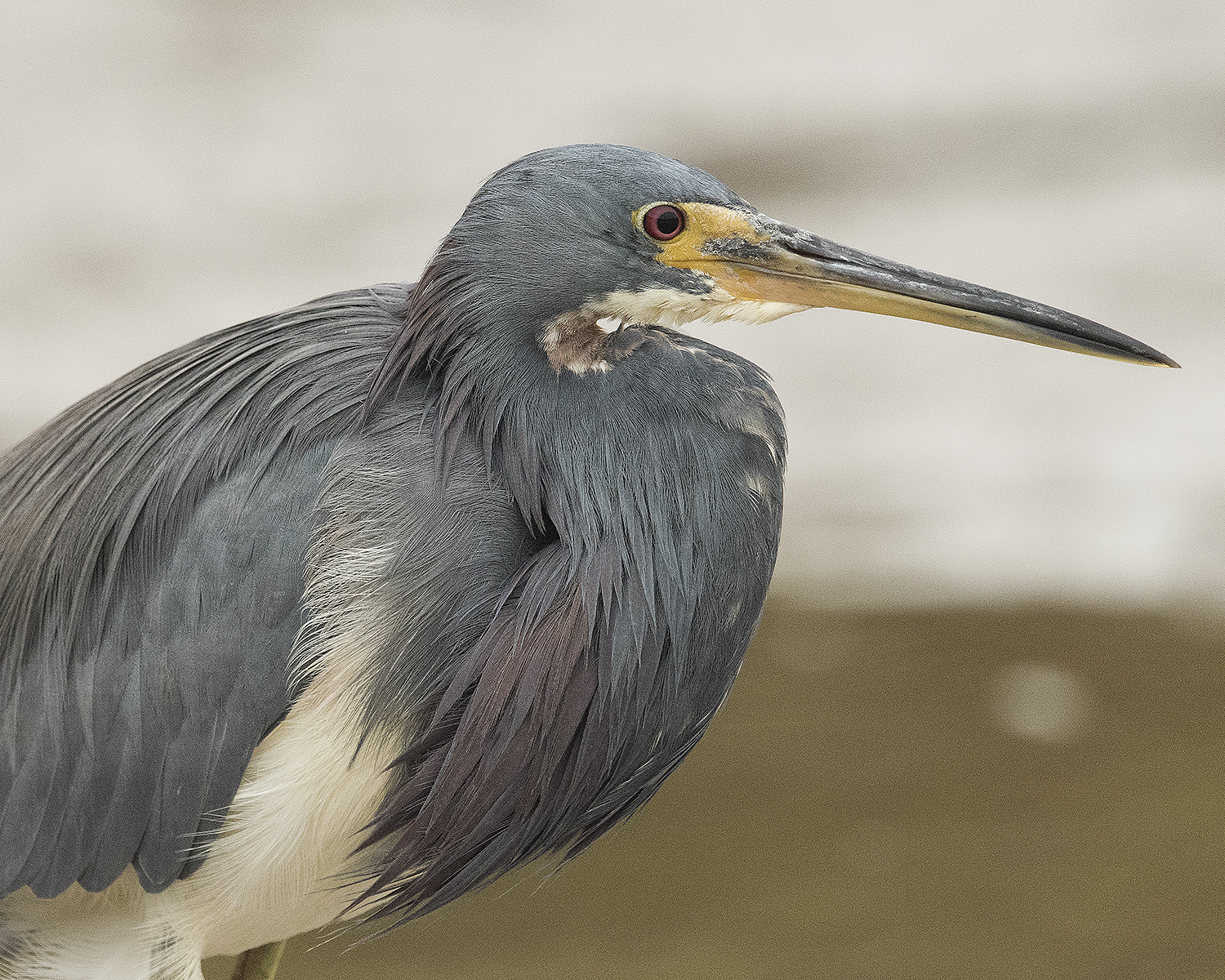 Over sharpened Tricolored Heron - click to enlarge