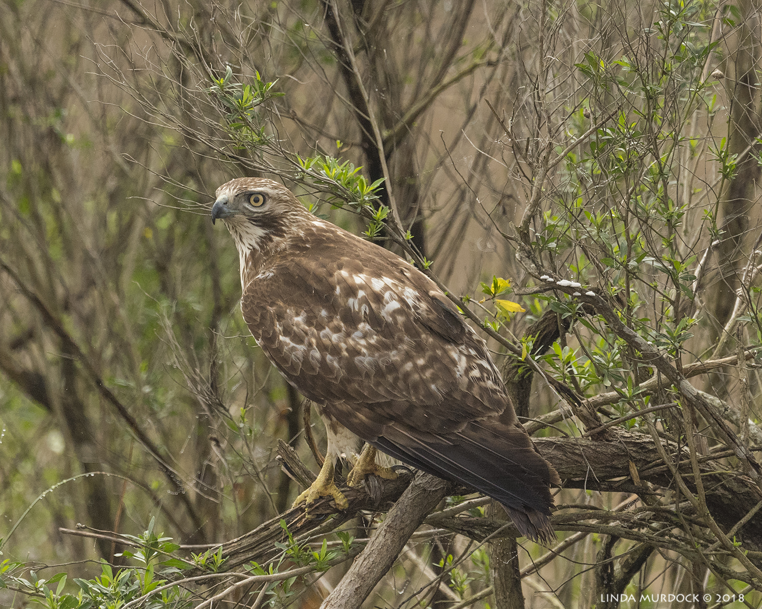 Red-tailed Hawk in his usual place Nikon D810 with NIKKOR 500mm f/4E VR + Nikon 1.4x TC ~ 1/2000  sec f/7.1 ISO 1000; braced in truck window