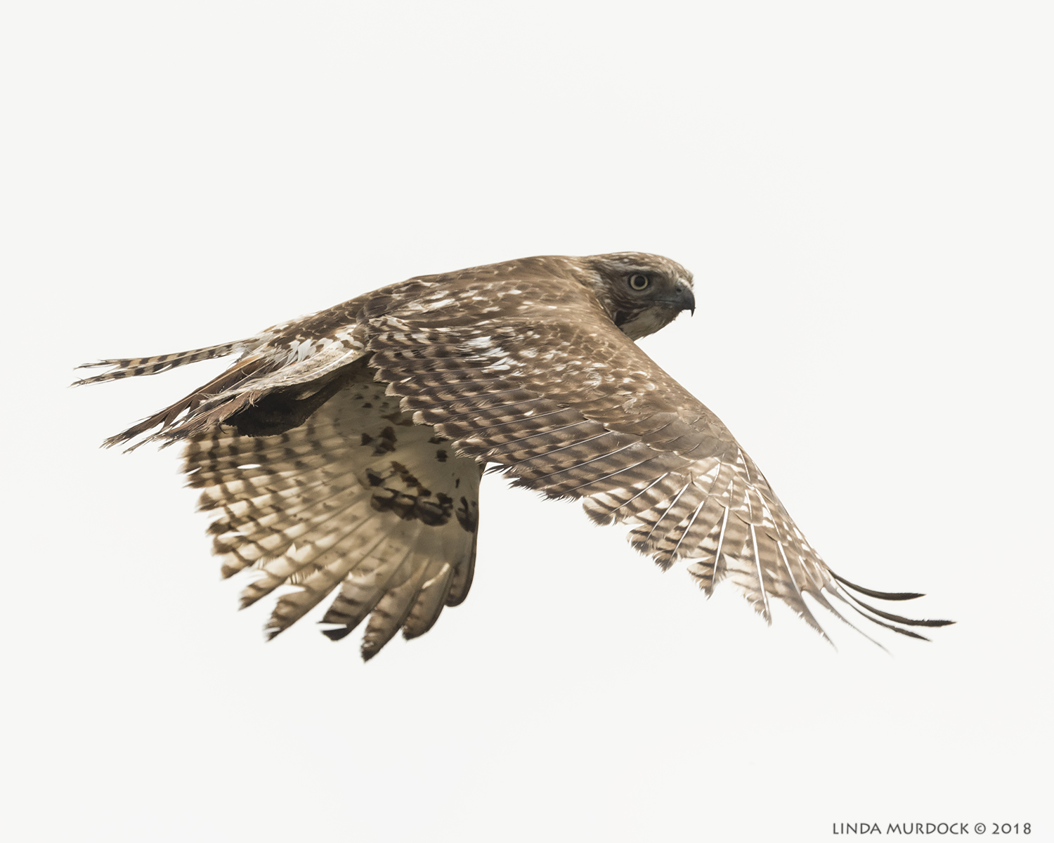 Another Red-tailed Hawk  ikon D810 with NIKKOR 500mm f/4E VR + Nikon 1.4x TC ~ 1/2500  sec f/7.1 ISO 640; braced in truck window