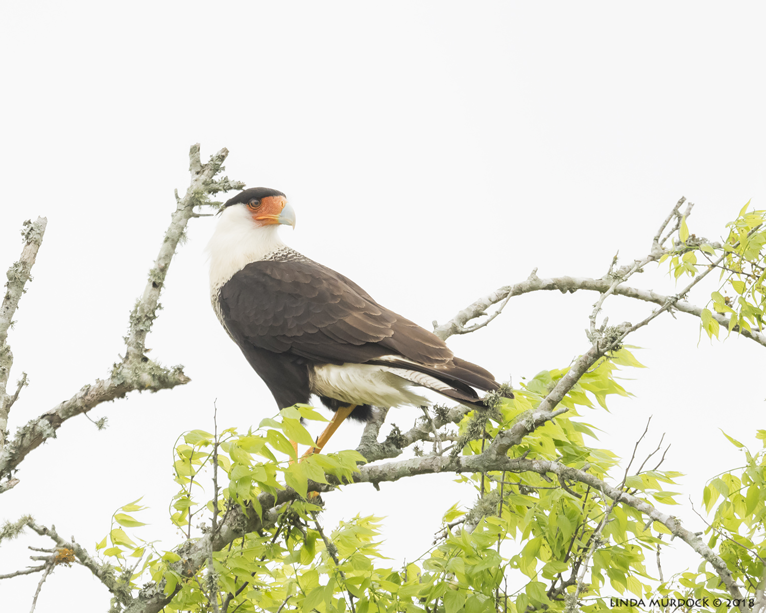 Wary Crested Caracara in the tree tops Nikon D810 with NIKKOR 500mm f/4E VR + Nikon 1.4x TC ~ 1/1600  sec f/6.3 ISO 1600