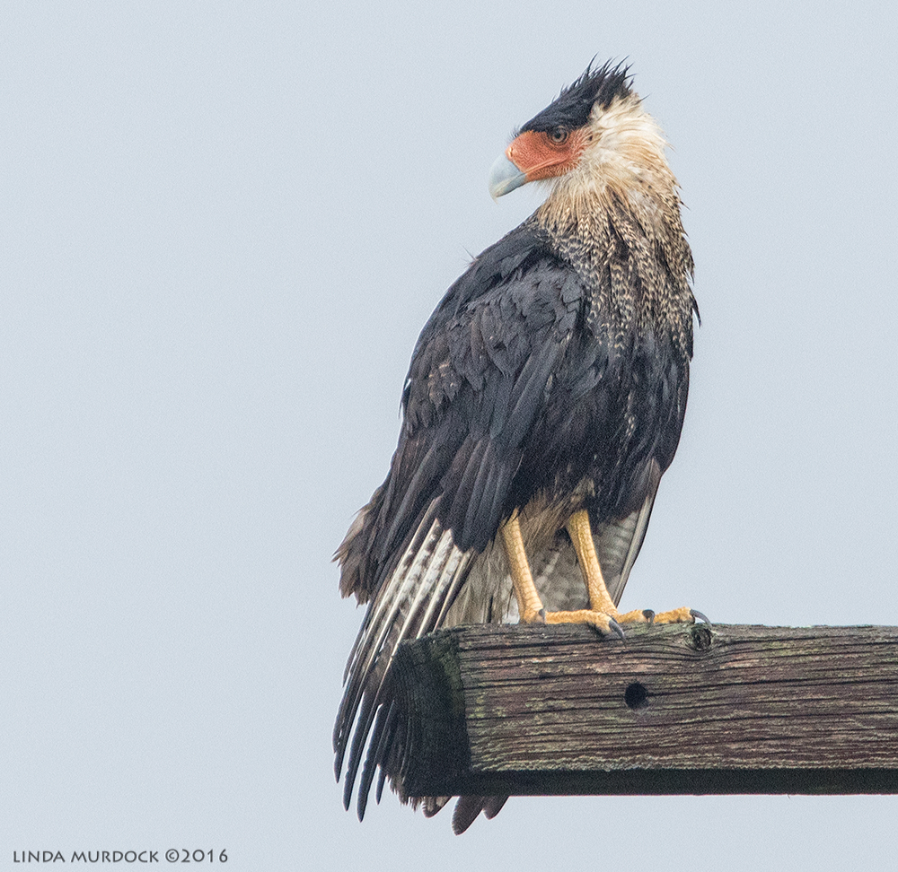 Adult Caracara after the rain Sony A77II with Sony f/4 500 G f/6.3 1/1000 sec ISO 1000; braced against truck window