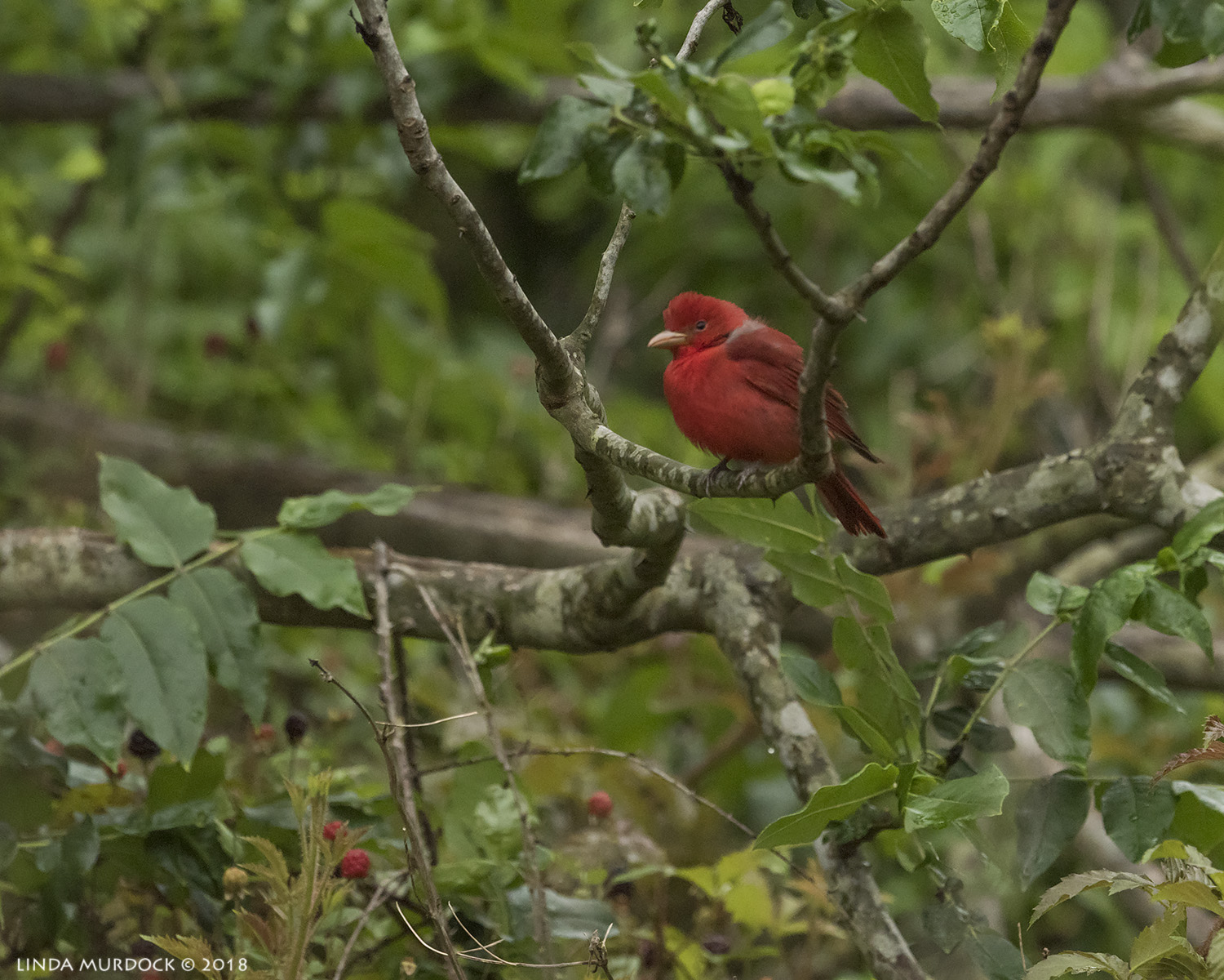 Summer Tanager very far away Nikon D810 with NIKKOR 500mm f/4E VR + Nikon 1.4x TC ~ 1/1250   sec f/7.1 ISO 2000; tripod