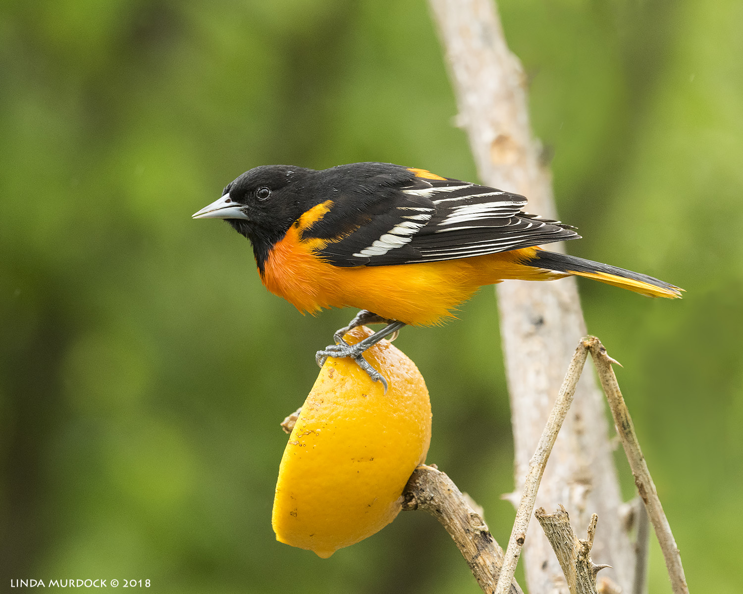 Baltimore Oriole and orange Nikon D810 with NIKKOR 500mm f/4E VR + Nikon 1.4x TC ~ 1/500   sec f/6.3 ISO 2500; tripod